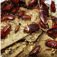 Cockroach Control Services
